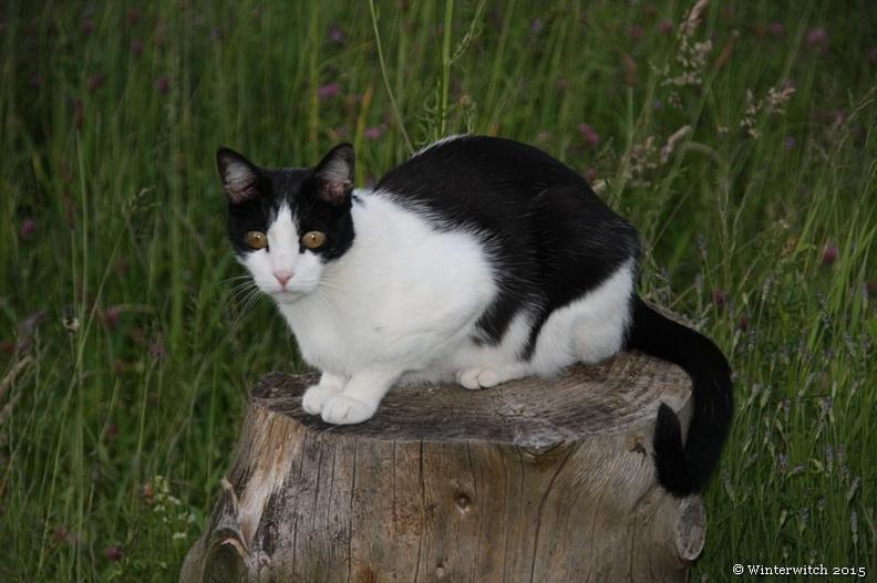 Katze Pitou