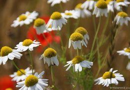 Marguerites and Poppies